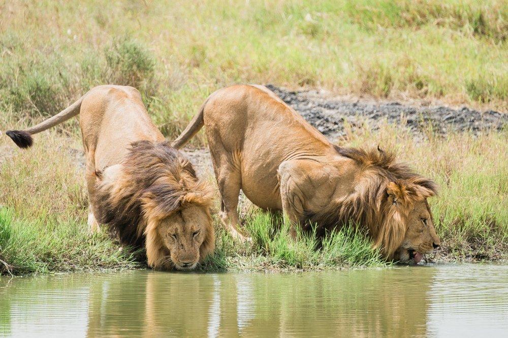 Löwen Brüder