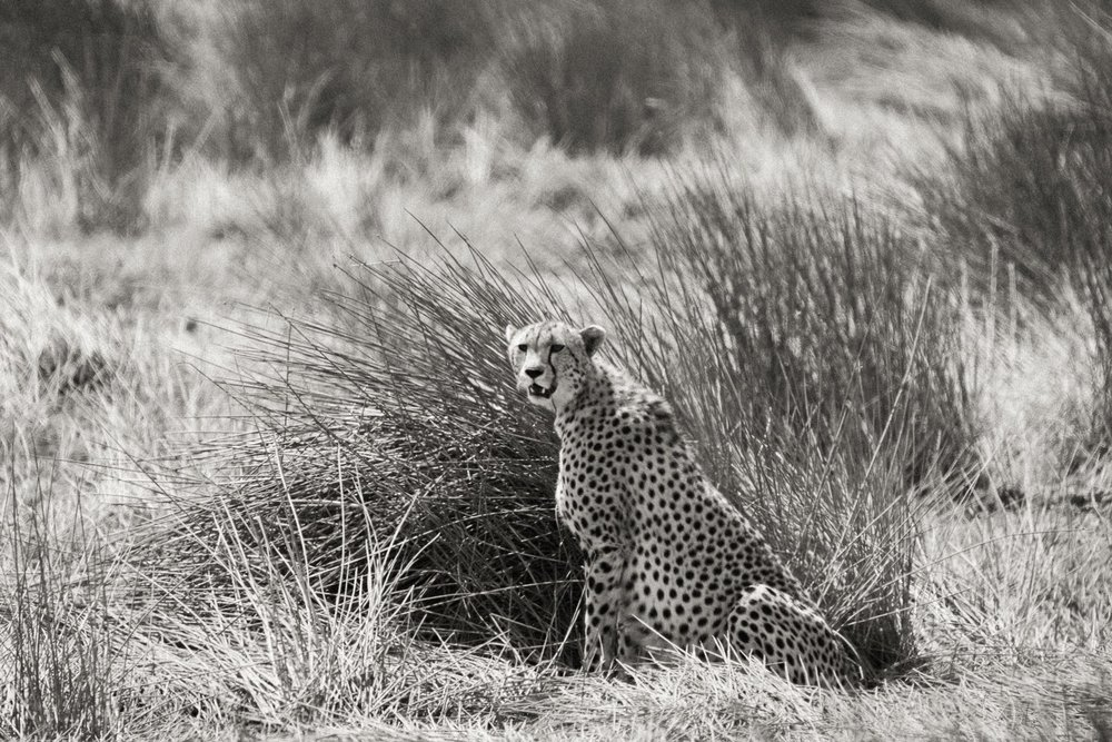 Gepard in der Serengeti