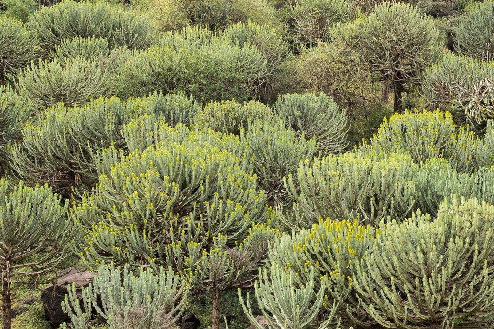Kandelaber-Baum
