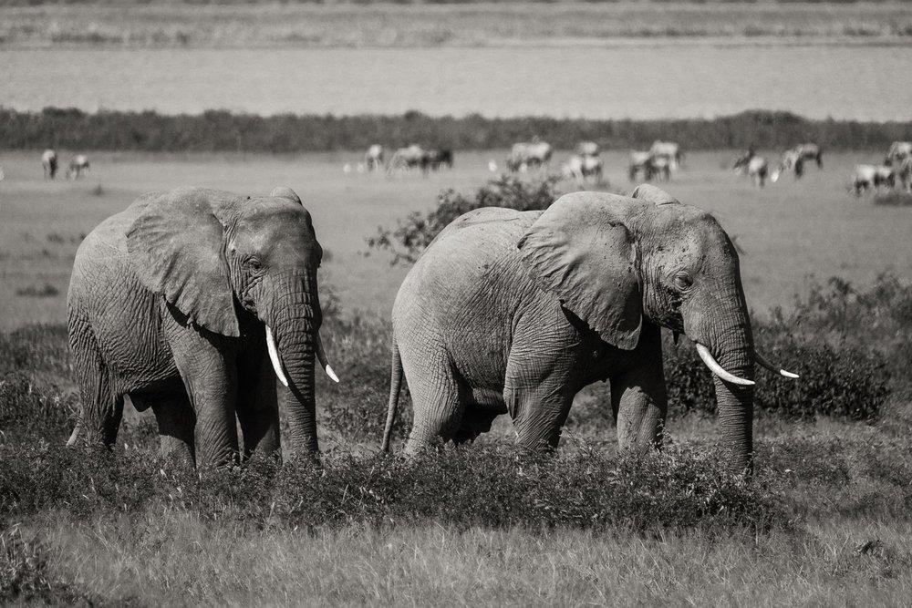 Afrikanischer Elefant Steppenelefant ( Loxodonta africana )