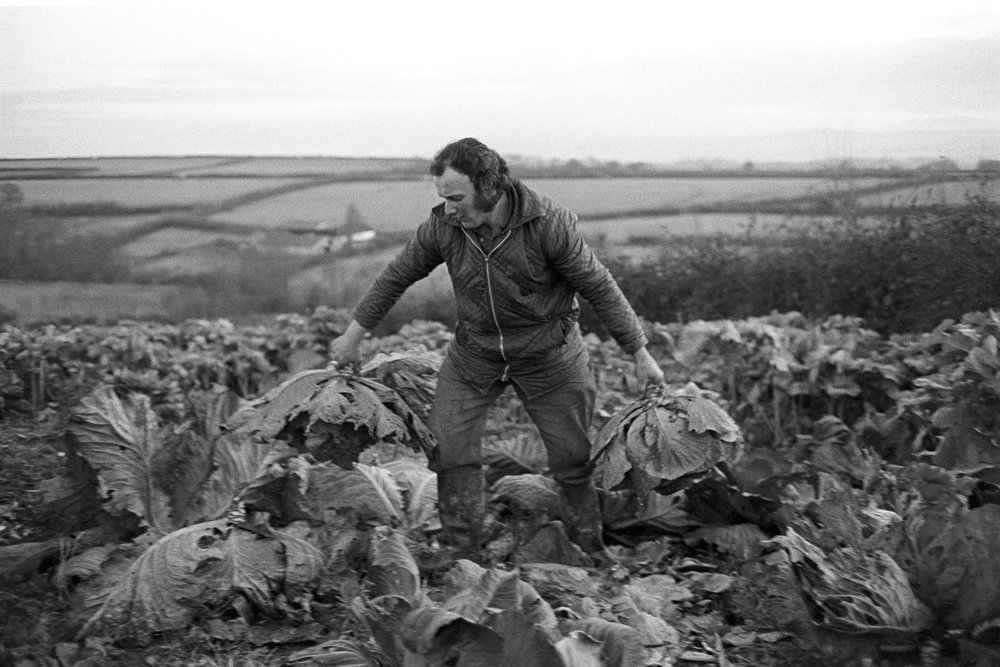 Peter Jones lifting 'flatpoll' cabbages, Upcott, Dolton, 1976