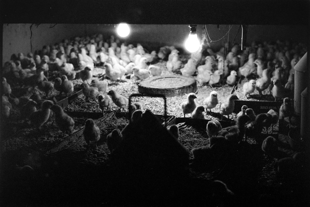 Intensively reared chicks living by artificial light