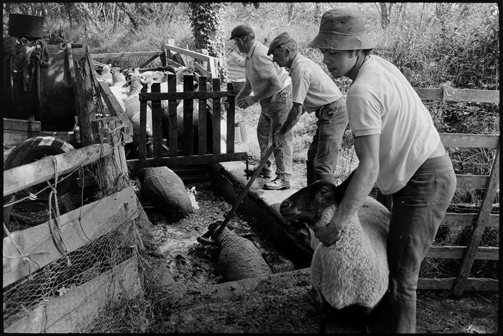 Sheep leaving dipping pen, Iddesleigh, Parsonage, August 1976.