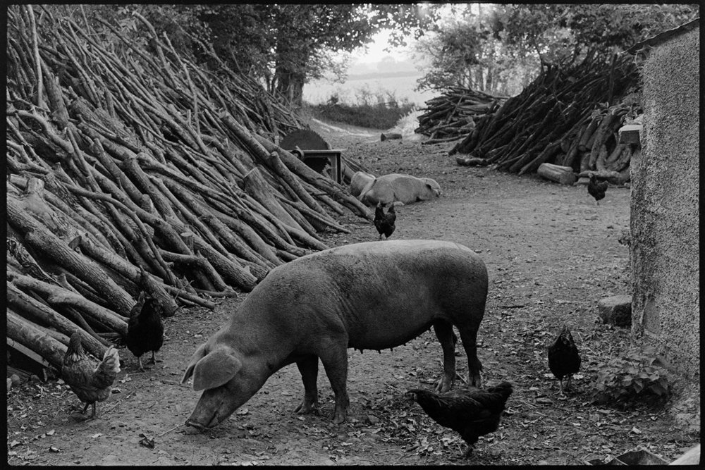 Pigs & chickens looking for food in farmyard, Iddesleigh, Parsonage, September, 1976.