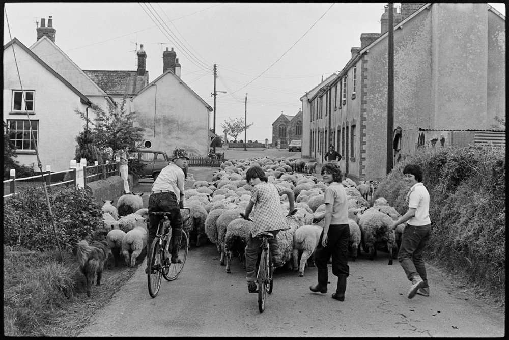 Teenagers helping farmer move sheep through village, Ashreigney, Densham, April 1978.