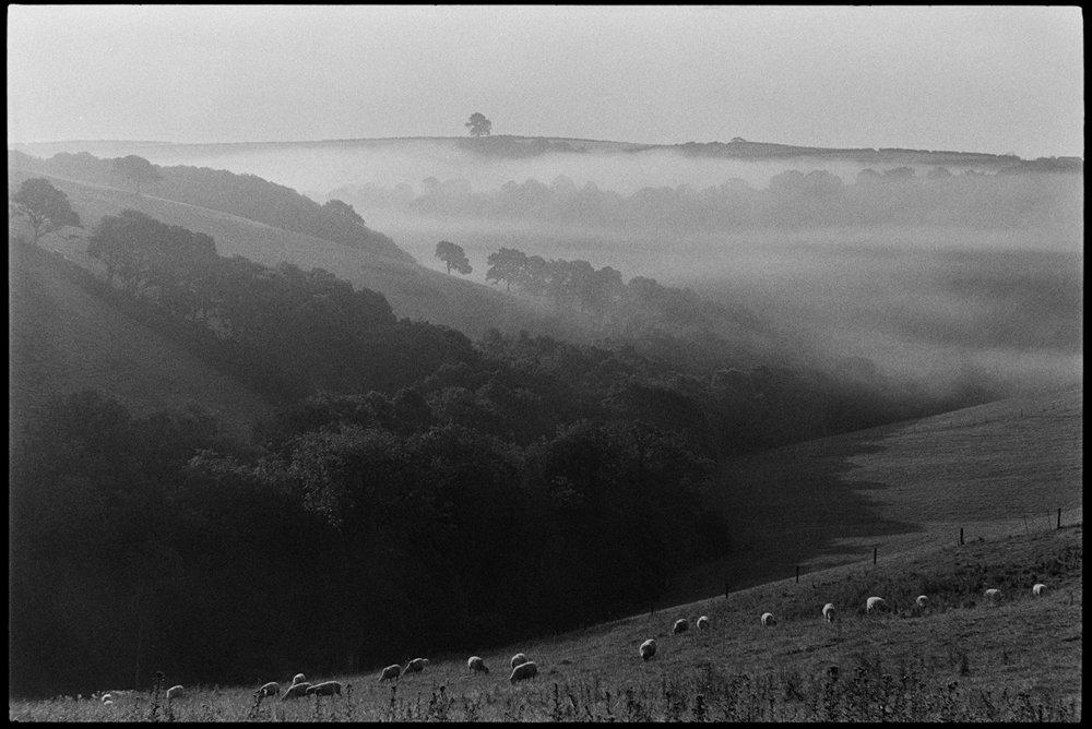 Misty landscape with sheep early morning, Ashreigney, Densham, September, 1981.