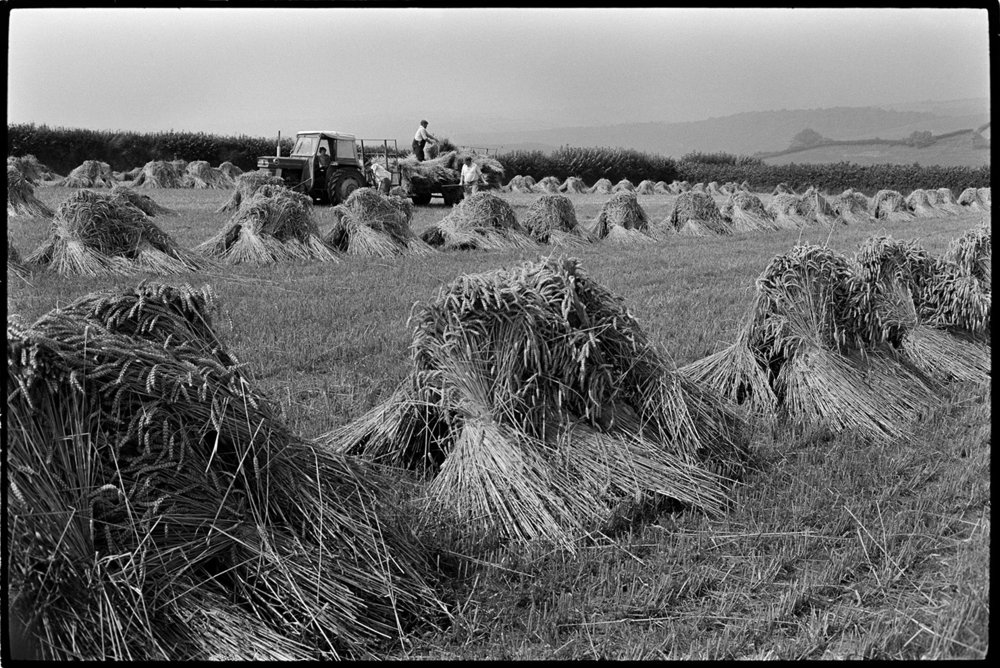 Loading up thatching reed, Beaford, Kiverleigh, 14th August 1973. Documentary photograph by James Ravilious for the Beaford Archive © Beaford Arts