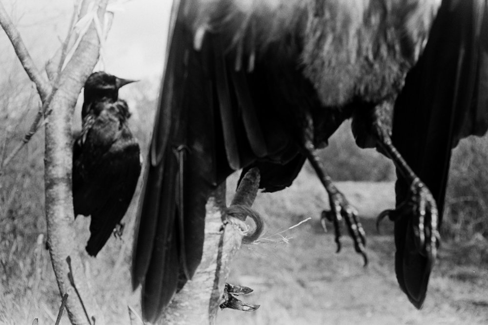 Jackdaw. Documentary photograph by Roger Deakins for the Beaford Archive © Beaford Arts