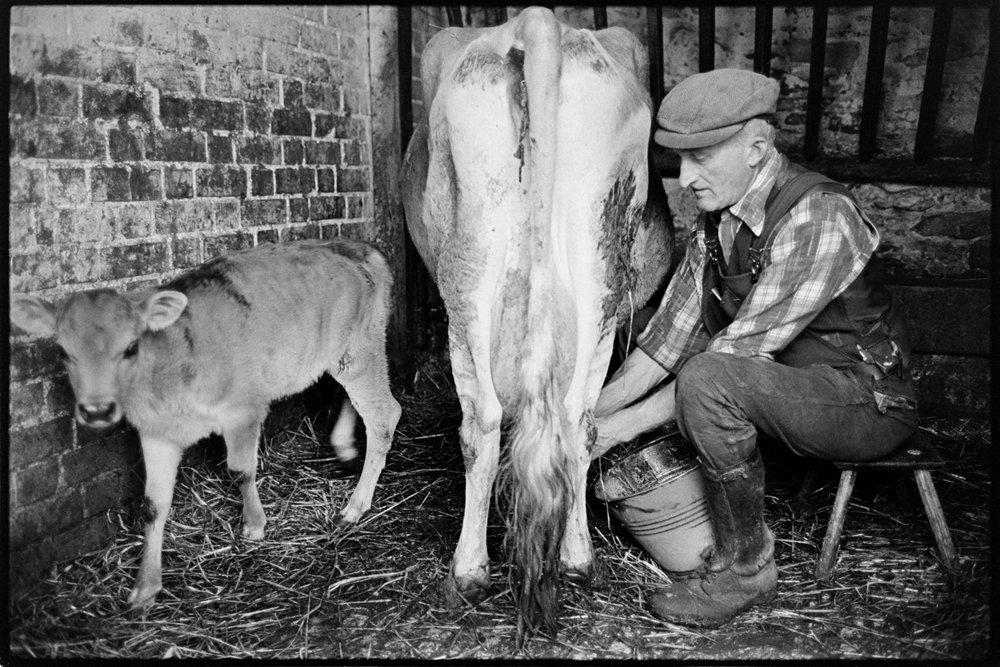 Gordon Sanders milking cow by hand, Ashreigney, Reynards Park, April 1978. Documentary photograph by James Ravilious for the Beaford Archive © Beaford Arts