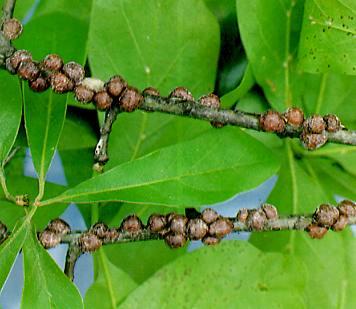 Lecanium scale on an oak branch.