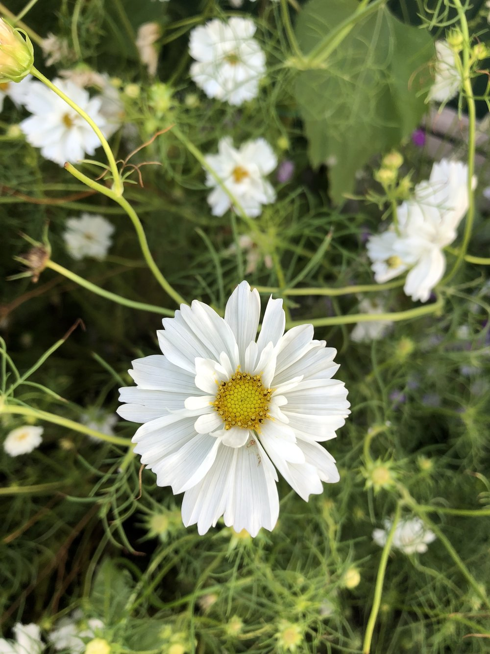 My friend Lou grew these gorgeous Psyche White Cosmos last year.