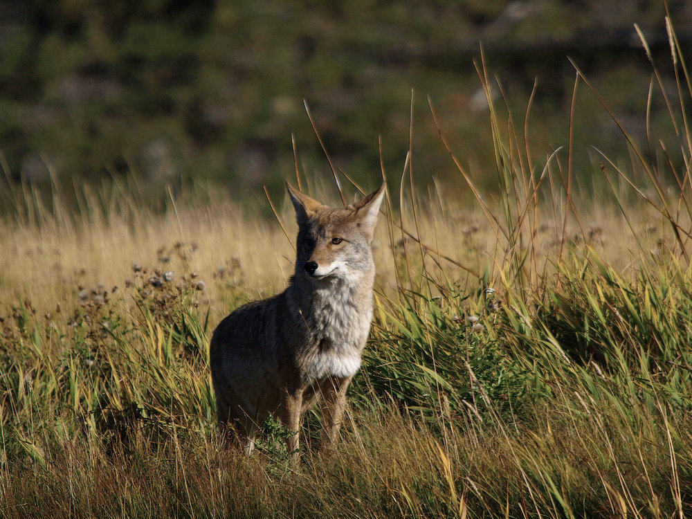 Coyote Yellowstone 2007