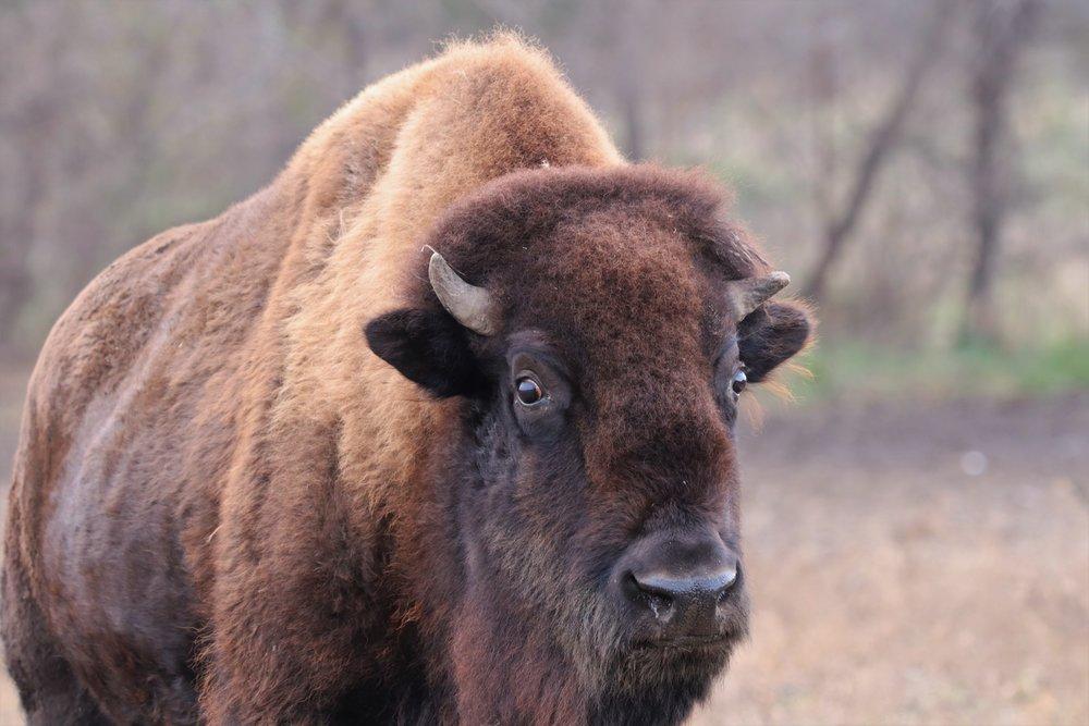 Buffalo Moving Forward