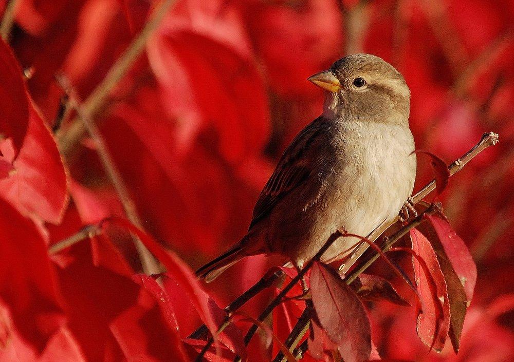 Fire Sparrow