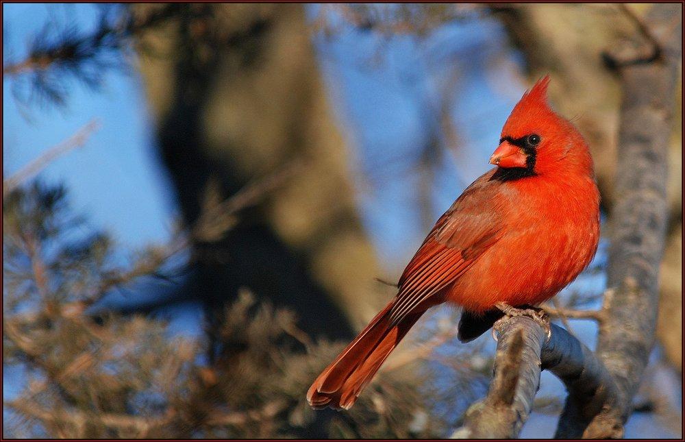 Perch Male Cardinal