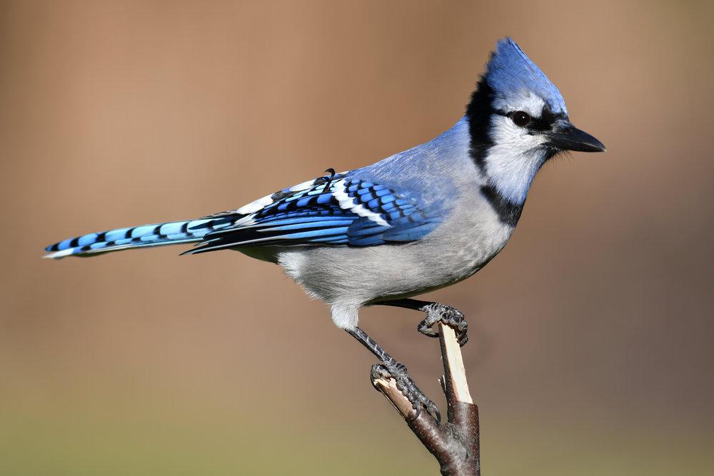 Blue Jay on a Stick
