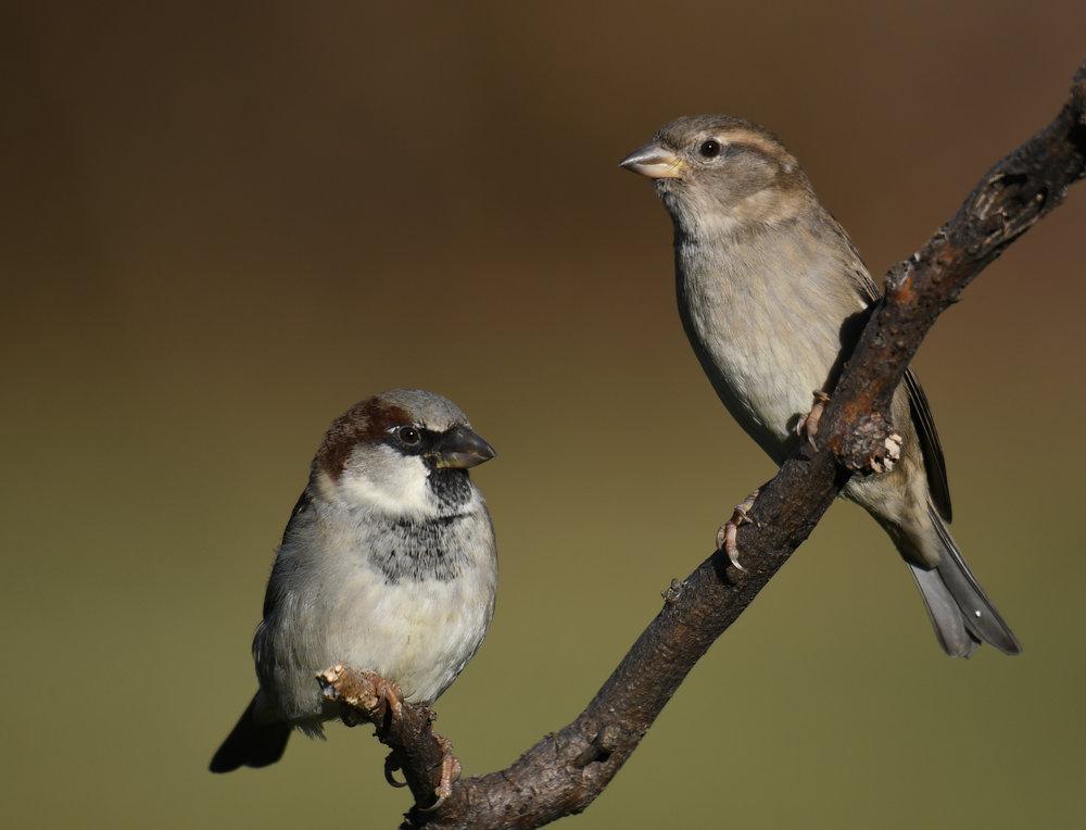 Dual Sparrows
