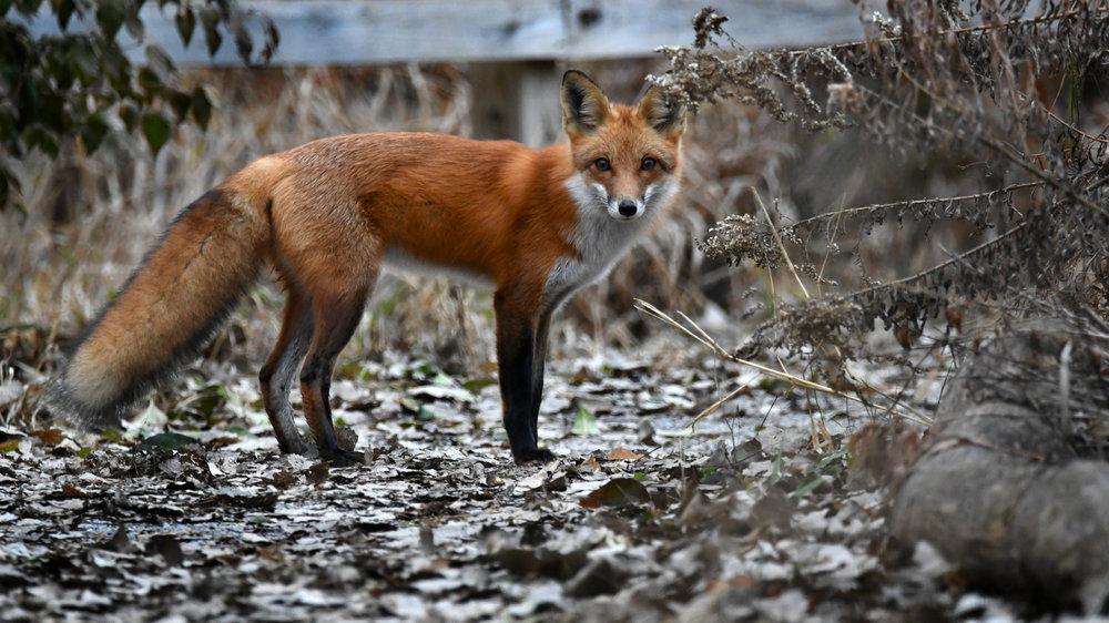 Fox On The Fence