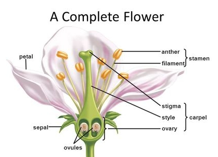 http---slideplayer.com-1728640-7-images-11-A+Complete+Flower+anther+petal+stamen+filament+stigma+style+carpel.jpg