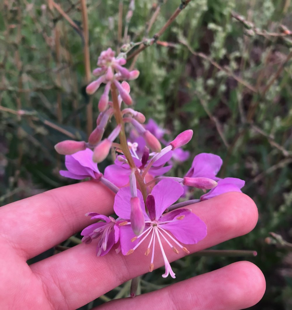 Here's a close up of a fireweed flower - 4 petals, 8 stamens, and it's hard to see but the stigma has 4 lobes.