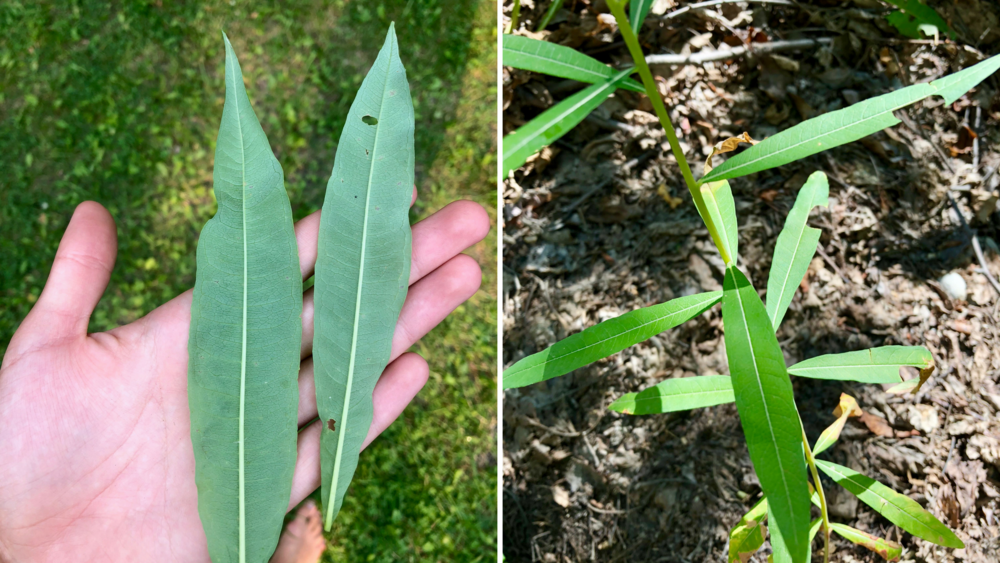 Here are photos of both the backside of the leaf (left photo) and the top of the leaf (right photo). You can see the central white vein on each side, along with the circular looped veins. You can also see how the bottom of the leaf is duller compared to the darker green top leaf.