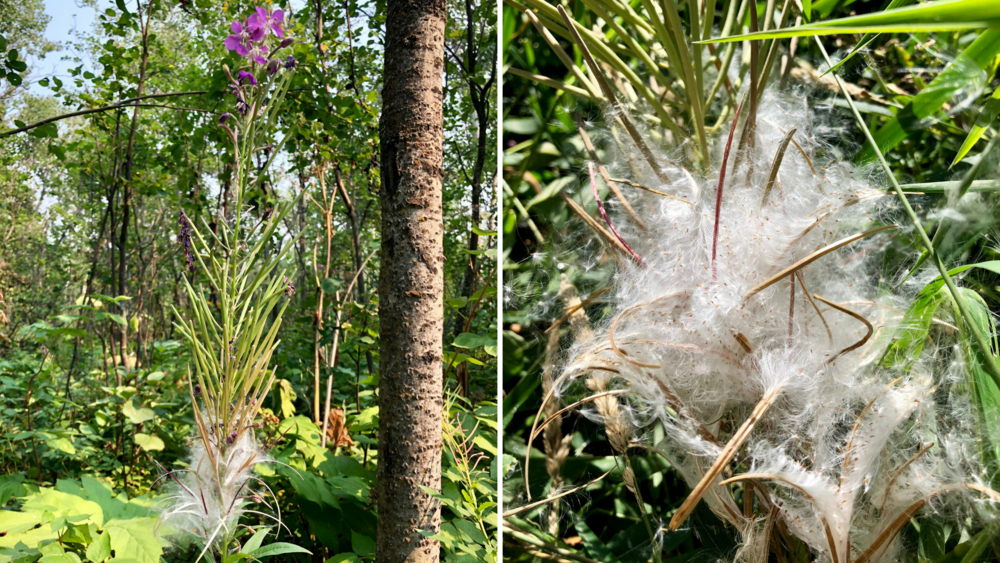 The left photo shows all stages of the fireweed plant. At the very top, you see the last of the blooms, in the middle, you see some seed pods, and at the bottom, you see that some have already opened to spread their cotton-like seeds. The photo on the right shows a close up of the seeds.