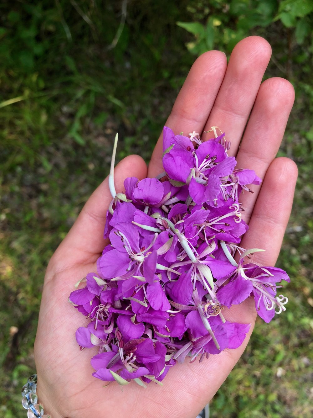 Wildcrafting fireweed flowers.