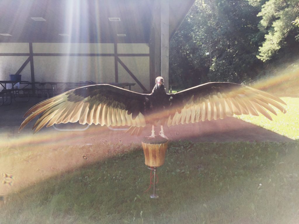 Gonzo the turkey vulture catches some morning rays.