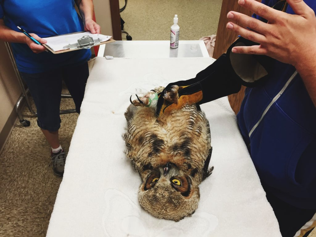 A juvenile Great Horned Owl is treated in the RARE clinic.