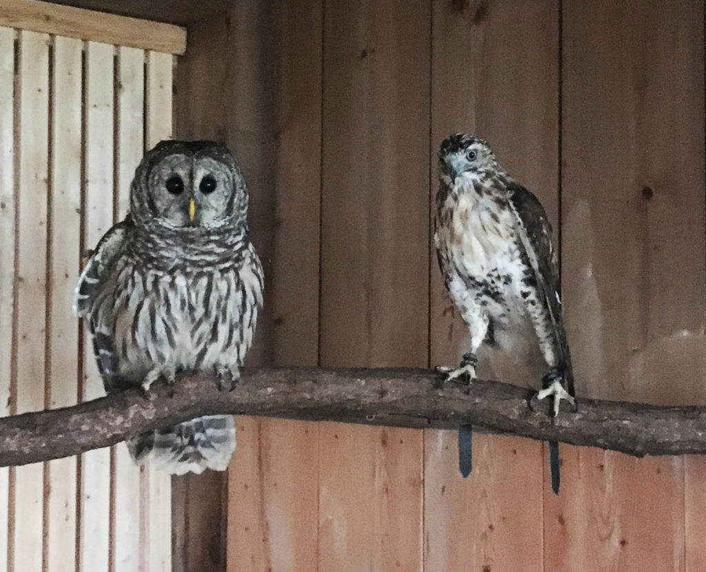 a-barred-owl-and-a-redtailed-hawk-share-a-perch-at-the-barn