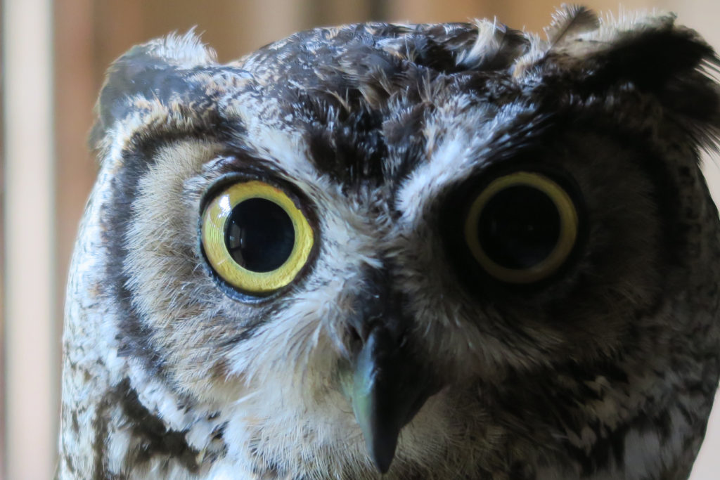 great-horned-owl-up-close