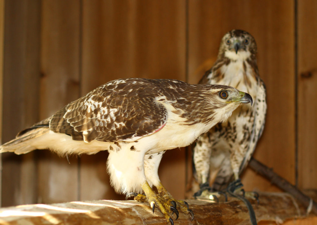img_8384-red-tailed-hawks