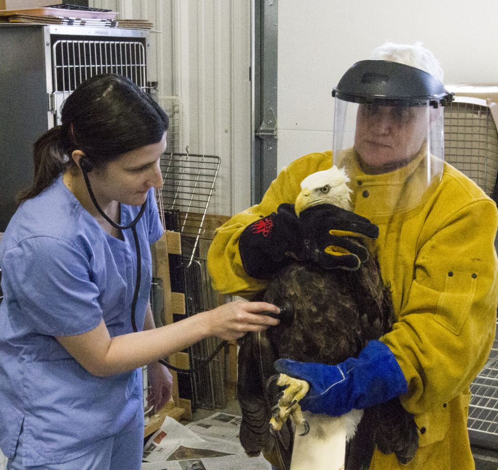 Jodeane Cancilla (right), along with Dr. Lacey Slutts, works with a bald eagle. Photo by Nikki Herbst