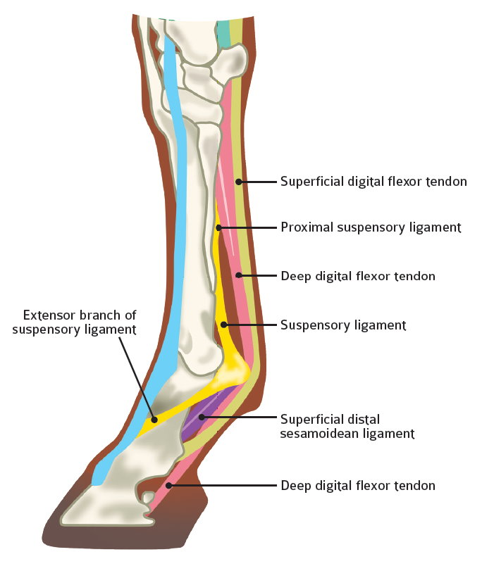 DIAGRAM OF HORSES LOWER LIGAMENTS AND TENDONS