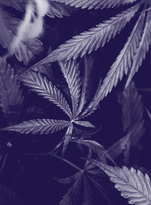 """La légalisation du cannabis - 21 janvier 2019Terrass"""" HôtelEn savoir +"""