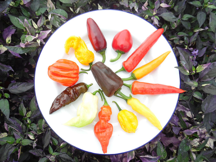 Want to grow your own chillies? — WOMAN'S WAY