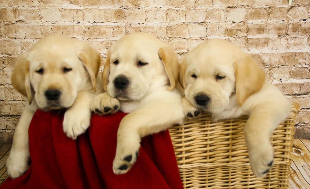 Puppies in the basket 10-0344.jpg