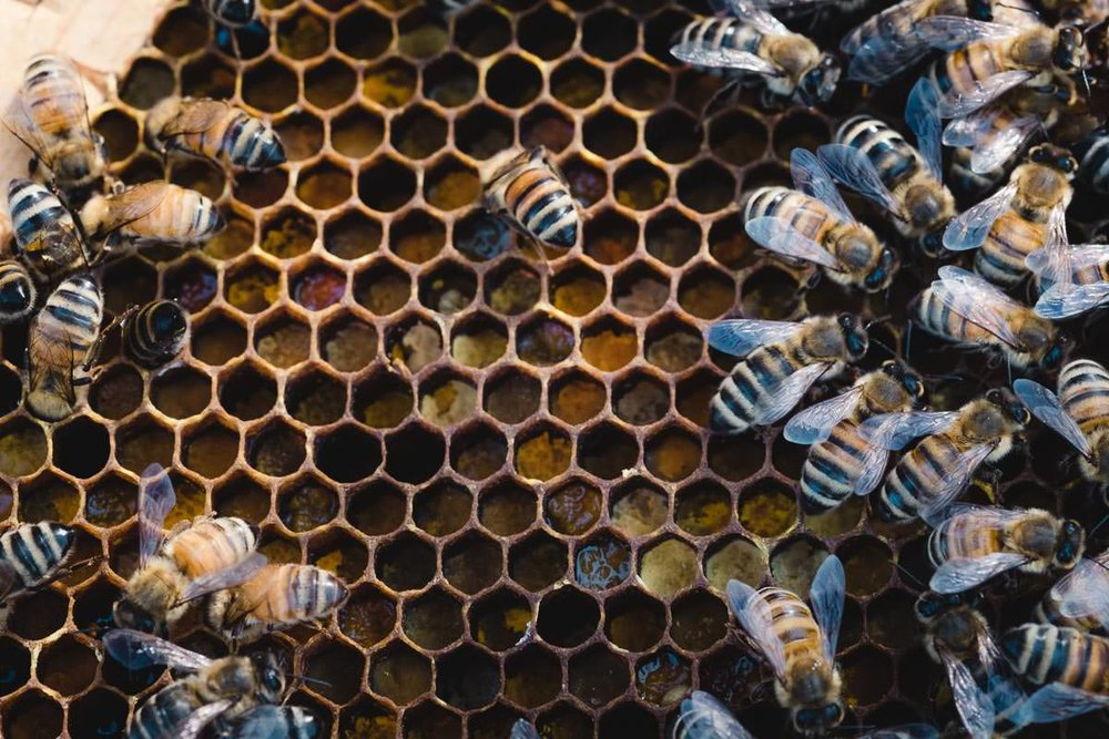 "Some worker bees fill hive cells with pollen, an important source of protein for the brood—workers will mix pollen and plant nectar to make ""bee bread"" that they feed to baby bees. All the workers are female, and the hive has a caste system based on age—younger bees tend the larvae and maintain the hive, while older bees go out to forage for pollen and nectar."