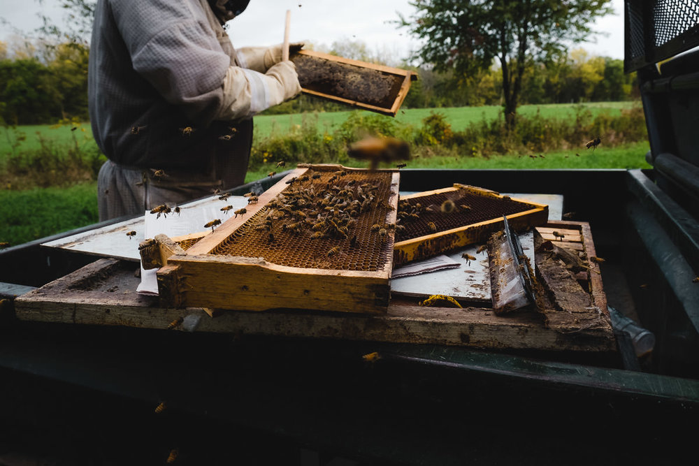 During an early summer, harvest, beekeeper Joel removes the wooden bee frames, with cells now full of honey and capped off with beeswax, from the hive boxes, and gently brushes the bees off. He'll replace the filled frames with empty ones for the bees to fill up again. The insects produce honey from spring through fall—as long as it's not too cold and plants are flowering.