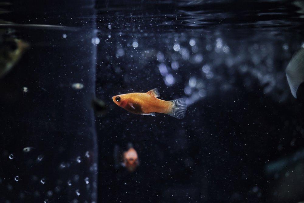 Freshwater Guppy
