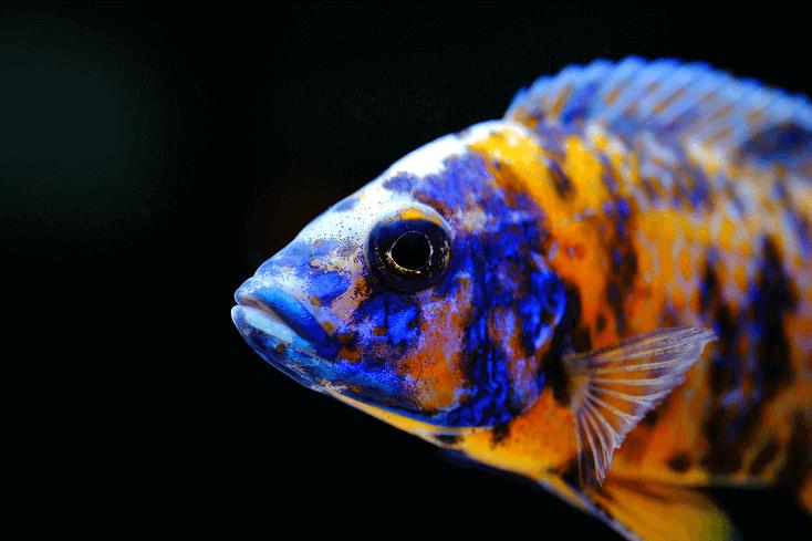 Peacock Cichlid