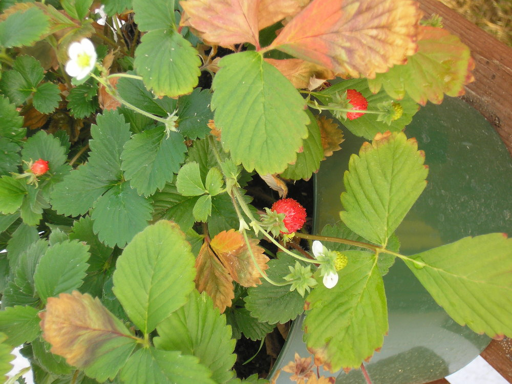 strawberries in winter.JPG