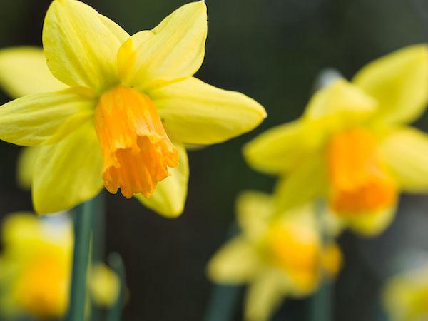 Daffodil image