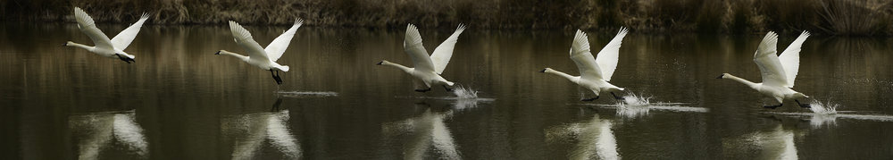 Swan Taking Flight, Oxley Nature Center, Tulsa, OK. #goanddo #dothework #liveyourpassion
