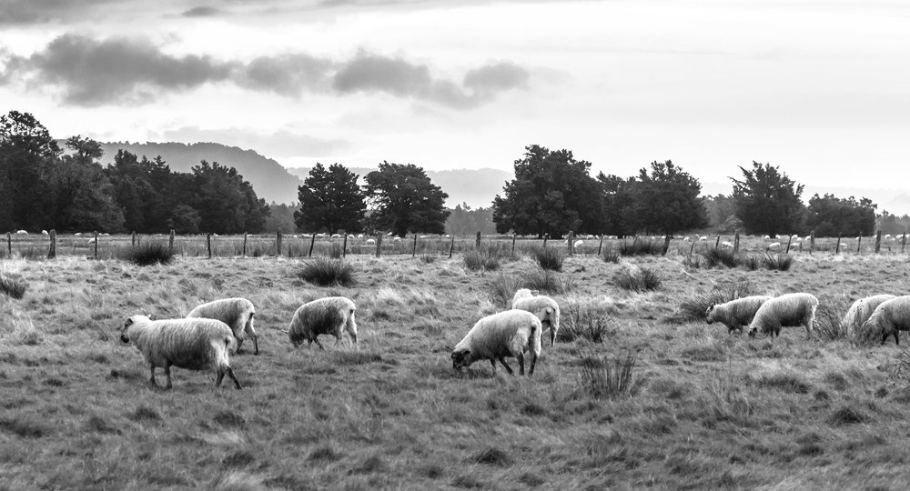 Free Range Lamb, Waikato Region, North Island - The Waikato region is famous for its dairy cows. It's a little unfair that they get all the attention, because Waikato farms are one of the places we source the world's best quality lamb.