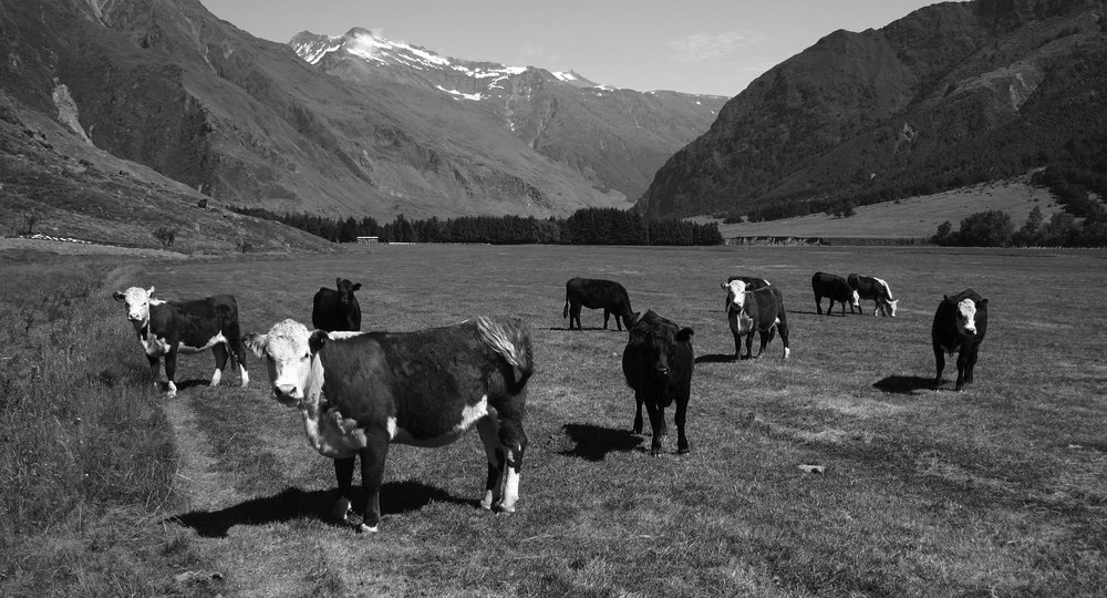 Free Range Beef, Lower South Island - The bottom of the South Island, one of our key farming regions, is a long way from everywhere. Which means less distractions for our farmers and more time spent farming high quality beef.