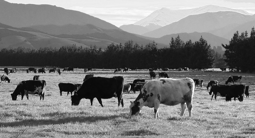 Free Range Beef, South Wairarapa, North Island - Many of our farms are in South Wairarapa,with rolling hills and valleys for the cattle to climb.There's no lazy cows here. They stay fit and lean,producing high quality beef.