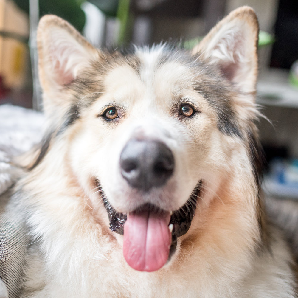Kota - Kota is an American Alsatian, weighing in at a whopping 130lbs. He is a gentle giant who loves to play with his kitty siblings. He is a big fan of the colder months, but during the summer he can be found sleeping directly on top of the air conditioner.