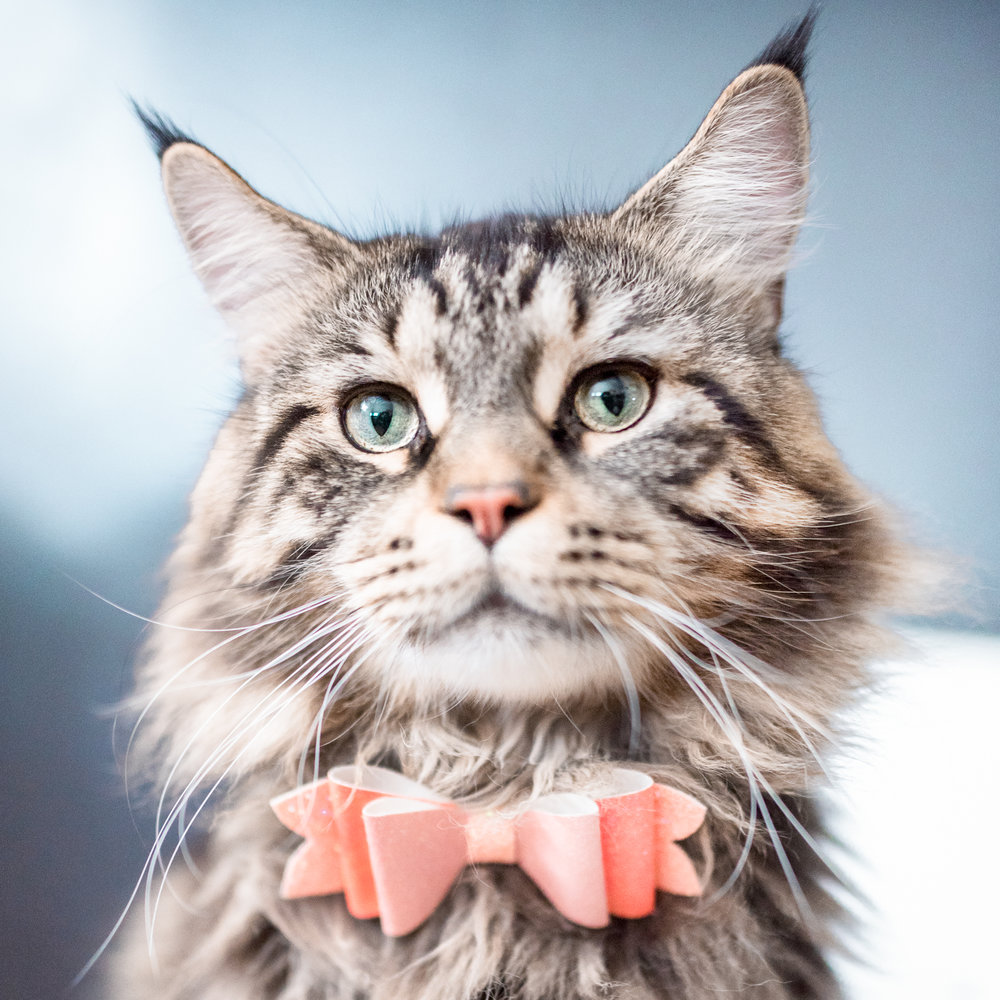 Leonidas - Leo is a Maine Coon living in the windy city of Chicago. Known for his sense of style, he is often seen sporting a bow tie or bandana. Despite his large size, Leo is a mama's boy who loves forehead kisses and chin scratches.