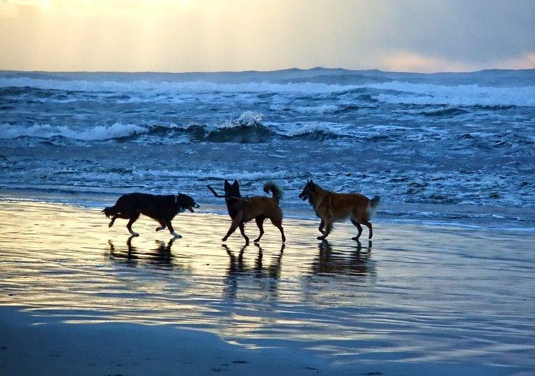 beach dogs sunset.jpg
